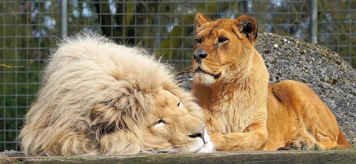 lion-PX Pst1